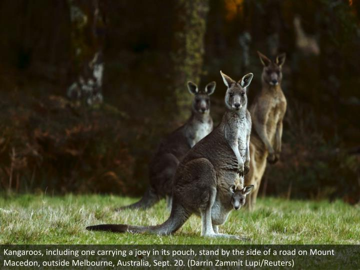 Kangaroos, including one carrying a joey in its pouch, stand by the side of a road on Mount Macedon, outside Melbourne, Australia, Sept. 20. (Darrin Zammit Lupi/Reuters)