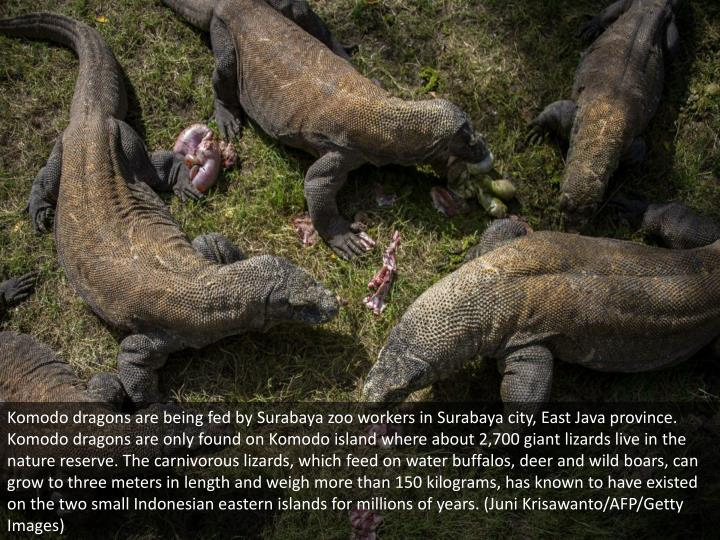 Komodo dragons are being fed by Surabaya zoo workers in Surabaya city, East Java province. Komodo dragons are only found on Komodo island where about 2,700 giant lizards live in the nature reserve. The carnivorous lizards, which feed on water buffalos, deer and wild boars, can grow to three meters in length and weigh more than 150 kilograms, has known to have existed on the two small Indonesian eastern islands for millions of years. (Juni Krisawanto/AFP/Getty Images)