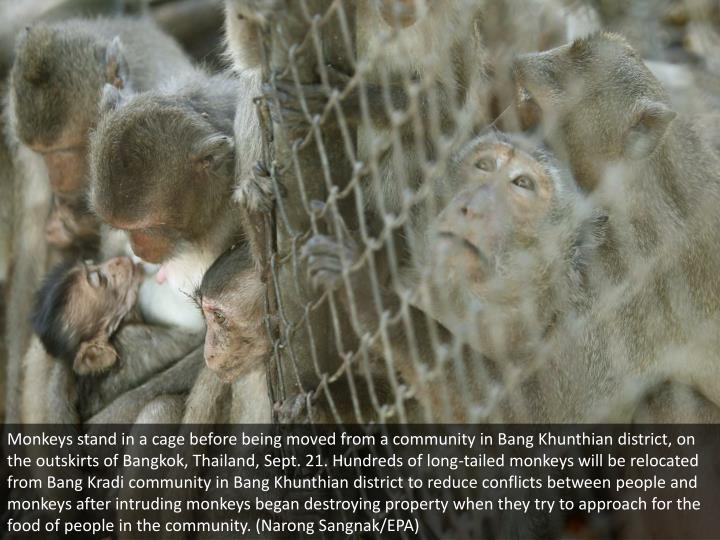 Monkeys stand in a cage before being moved from a community in Bang Khunthian district, on the outskirts of Bangkok, Thailand, Sept. 21. Hundreds of long-tailed monkeys will be relocated from Bang Kradi community in Bang Khunthian district to reduce conflicts between people and monkeys after intruding monkeys began destroying property when they try to approach for the food of people in the community. (Narong Sangnak/EPA)