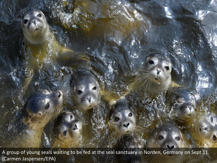 A group of young seals waiting to be fed at the seal sanctuary in Norden, Germany on Sept 11. (Carmen Jaspersen/EPA)
