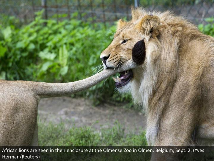 African lions are seen in their enclosure at the Olmense Zoo in Olmen, Belgium, Sept. 2. (Yves Herman/Reuters)