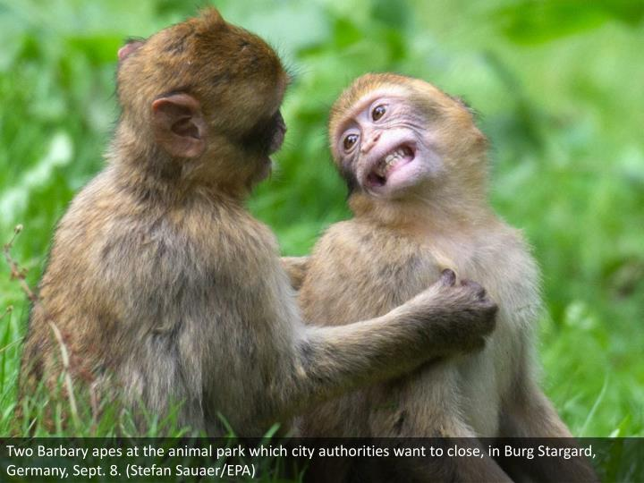 Two Barbary apes at the animal park which city authorities want to close, in Burg Stargard, Germany, Sept. 8. (Stefan Sauaer/EPA)
