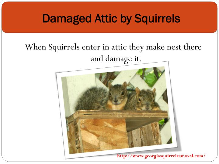 Damaged attic by squirrels