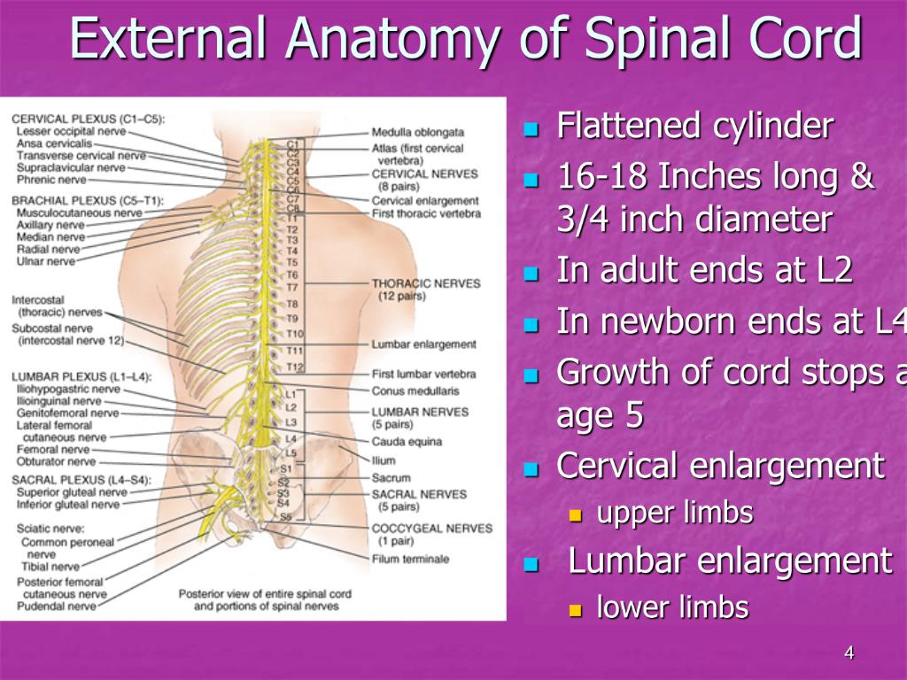 Ppt Chapter 13 The Spinal Cord Spinal Nerves Powerpoint Presentation Id 723989 It consists of two parts, an upper and a lower. spinal cord spinal nerves powerpoint