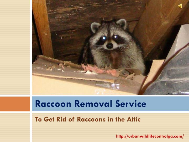 raccoon removal service n.