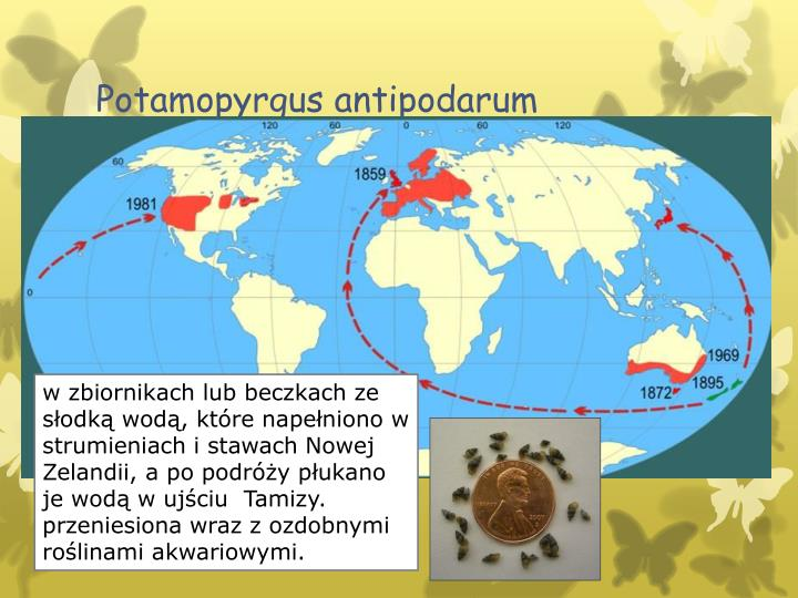 Potamopyrgus antipodarum