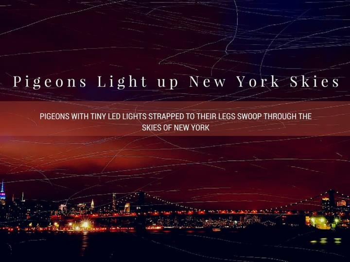 pigeons enlighten new york skies n.
