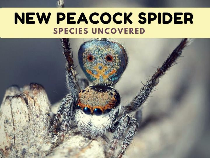 new peacock creepy crawly species uncovered n.