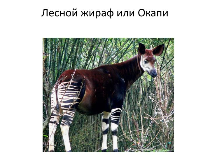 Лесной жираф или Окапи