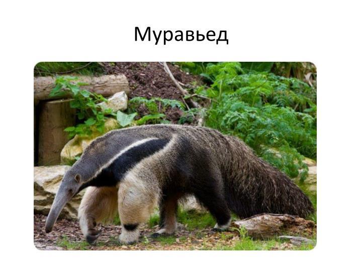 Муравьед