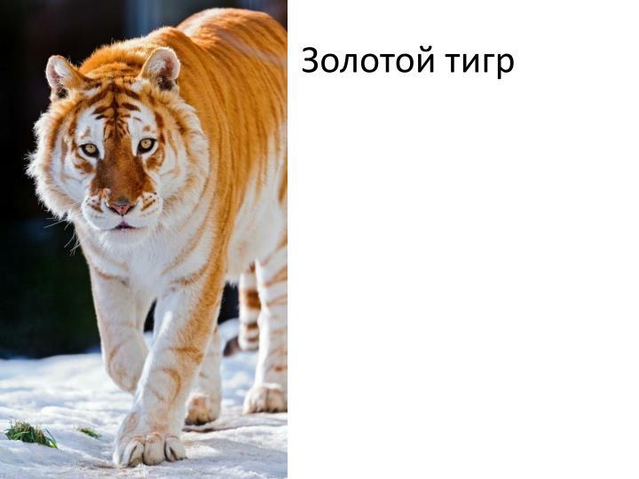 З                  Золотой тигр