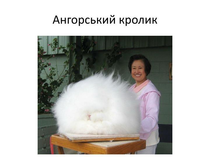 Ангорський кролик
