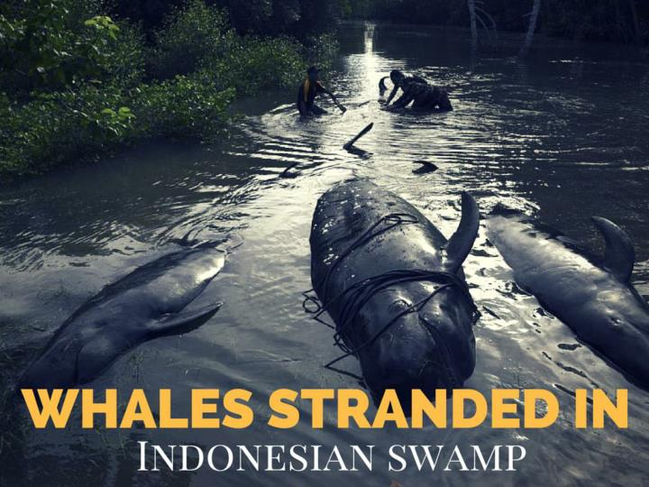 whales stranded in indonesian swamp