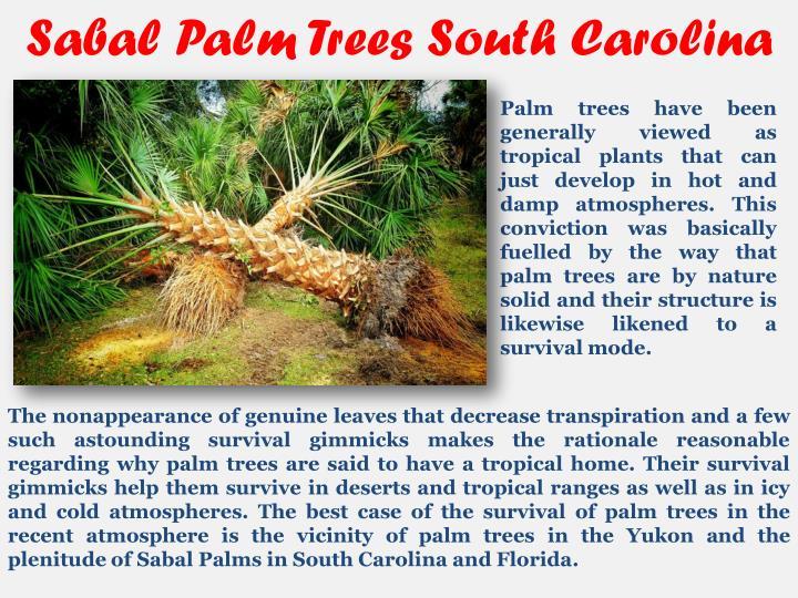 Sabal Palm Trees South Carolina