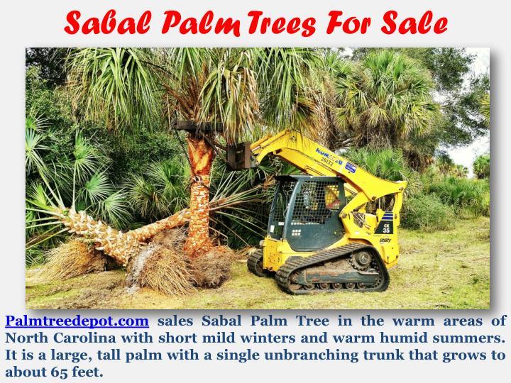 Sabal Palm Trees For Sale