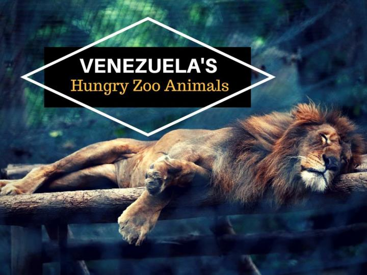 venezuela s eager zoo animals n.