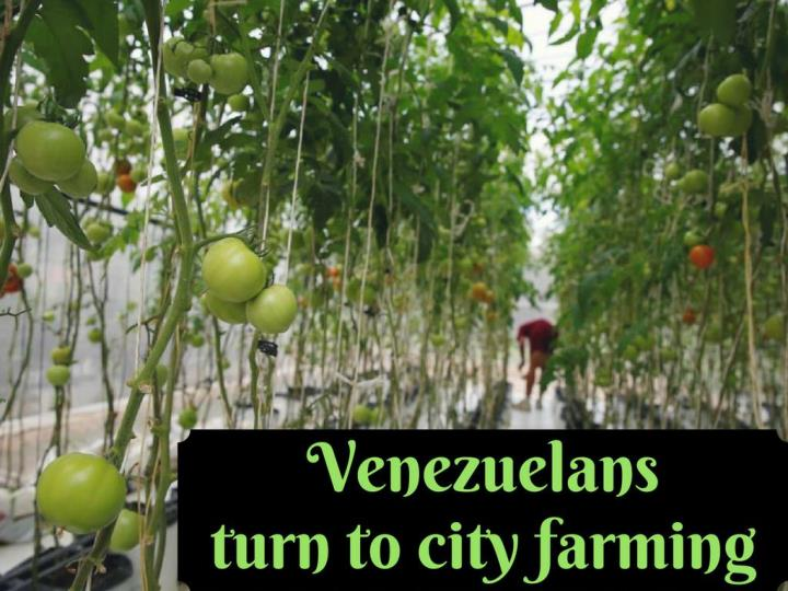 venezuelans swing to city farming n.