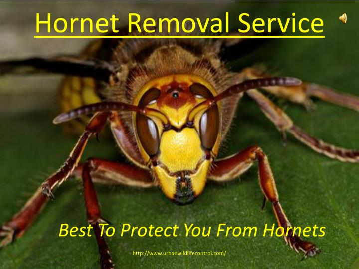 hornet removal service n.