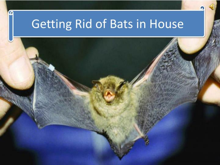getting rid of bats in house n.