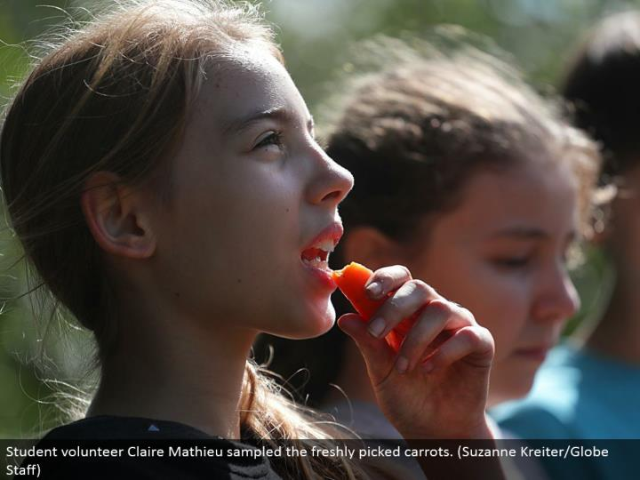 Student volunteer Claire Mathieu examined the newly picked carrots. (Suzanne Kreiter/Globe Staff)