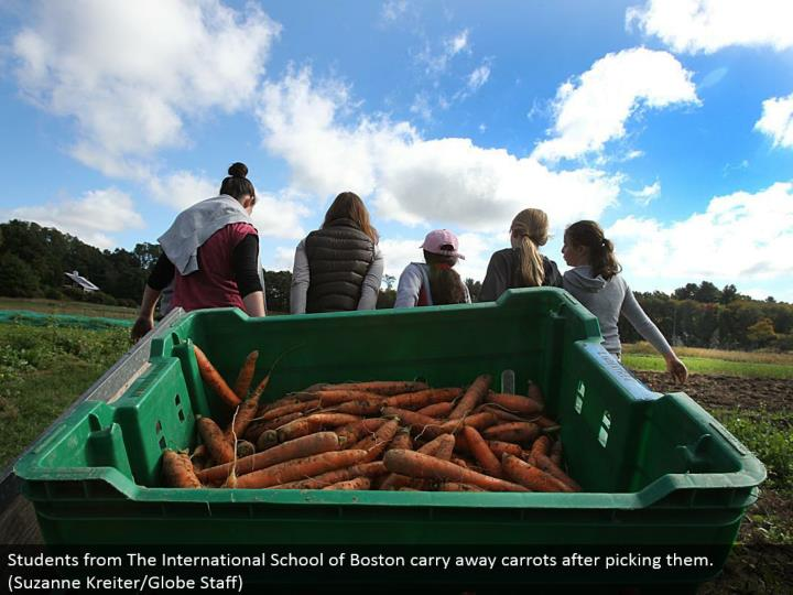 Students from The International School of Boston divert carrots in the wake of picking them. (Suzanne Kreiter/Globe Staff)