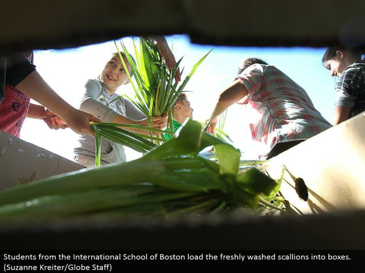 Students from the International School of Boston load the crisply washed scallions into boxes. (Suzanne Kreiter/Globe Staff)