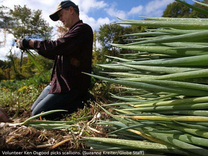Volunteer Ken Osgood picks scallions. (Suzanne Kreiter/Globe Staff)