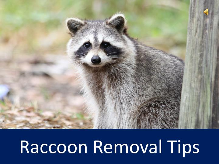 raccoon removal tips