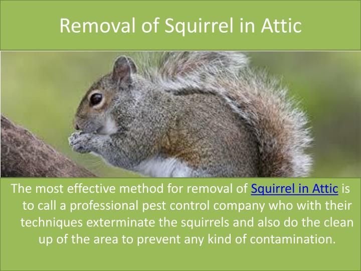 Removal of Squirrel in Attic