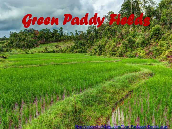 Green Paddy Fields