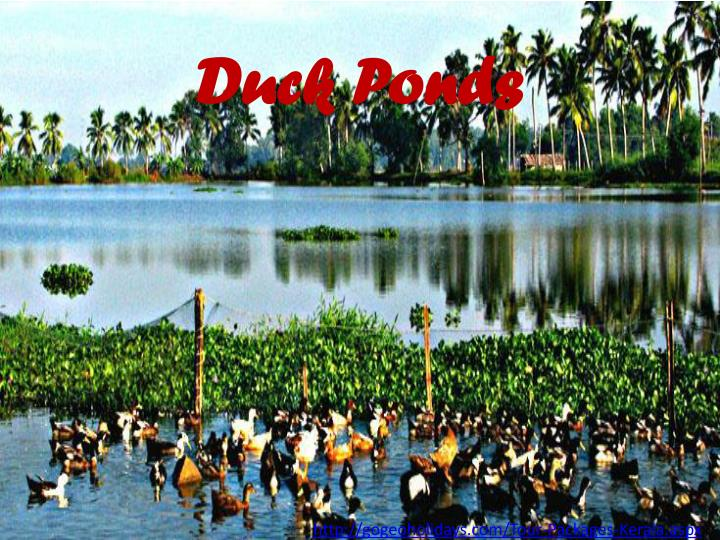 Duck Ponds