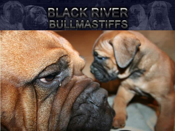 Black river bullmastiff