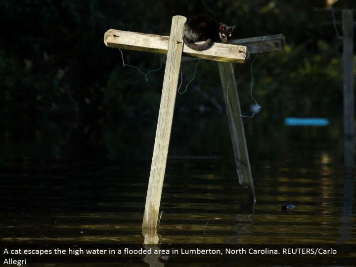 A feline escapes the high water in an overflowed zone in Lumberton, North Carolina. REUTERS/Carlo Allegri