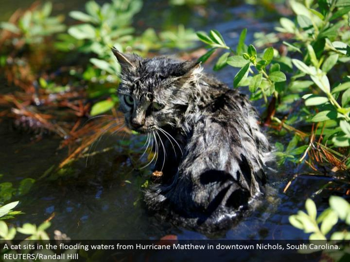 A feline sits in the flooding waters from Hurricane Matthew in downtown Nichols, South Carolina. REUTERS/Randall Hill