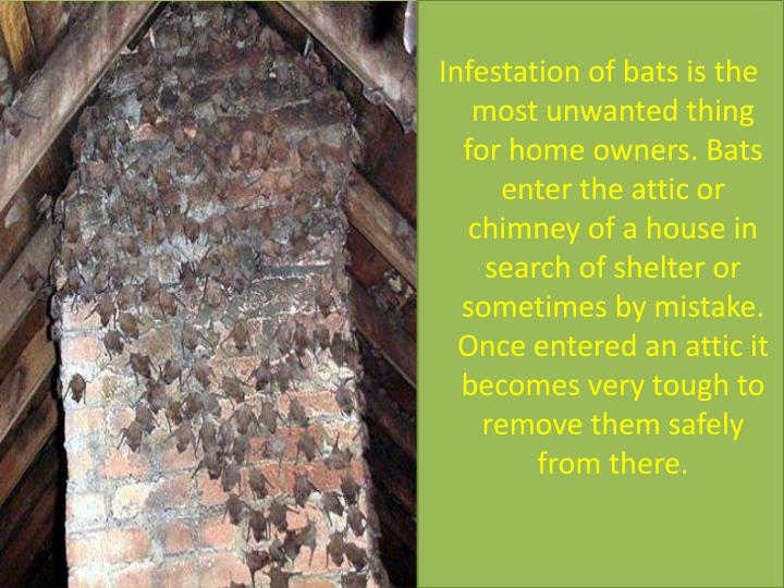 Infestation of bats is the most unwanted thing for home owners. Bats