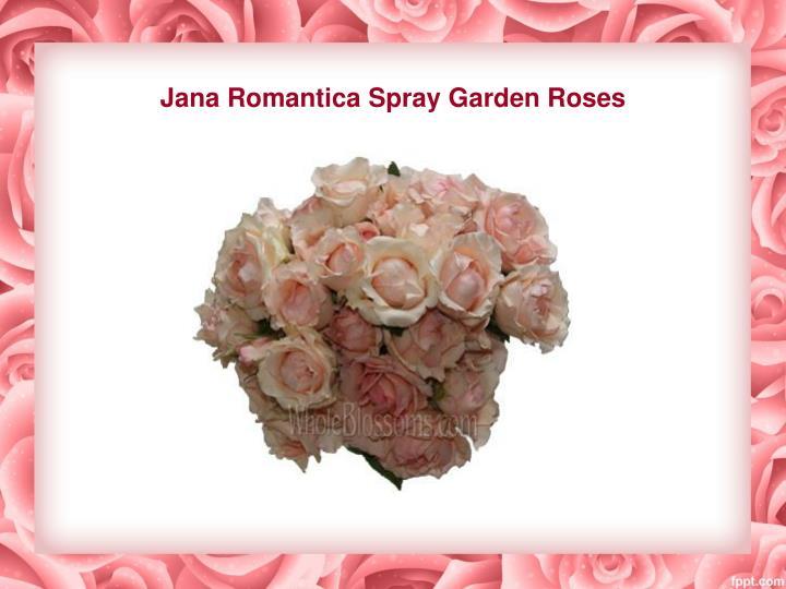 Jana Romantica Spray Garden Roses