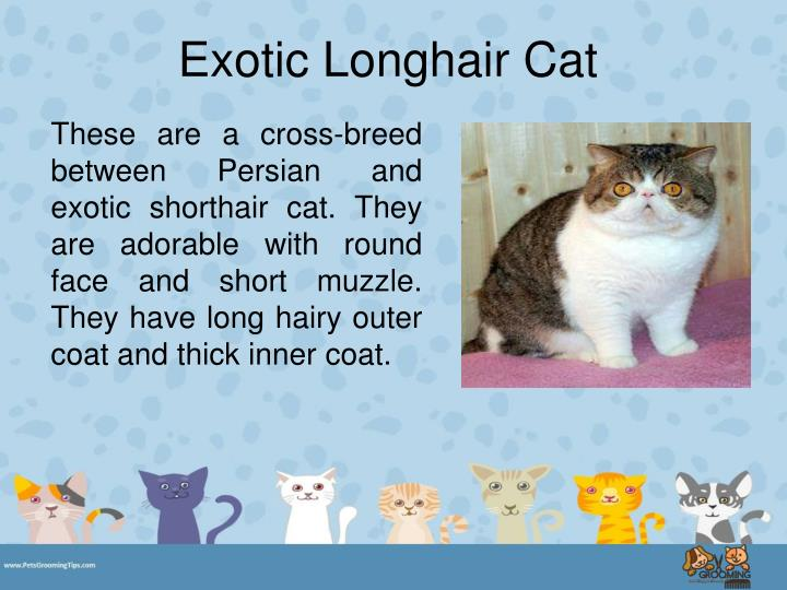 Exotic Longhair Cat