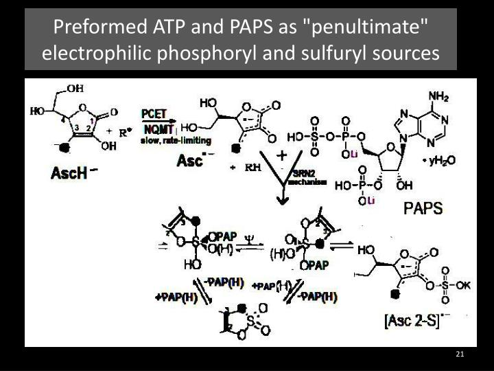 """Preformed ATP and PAPS as """"penultimate"""""""