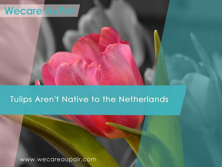 Tulips Aren't Native to the Netherlands