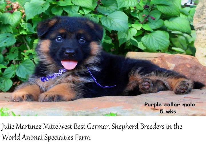 Julie Martinez MittelwestBest German Shepherd Breeders in the