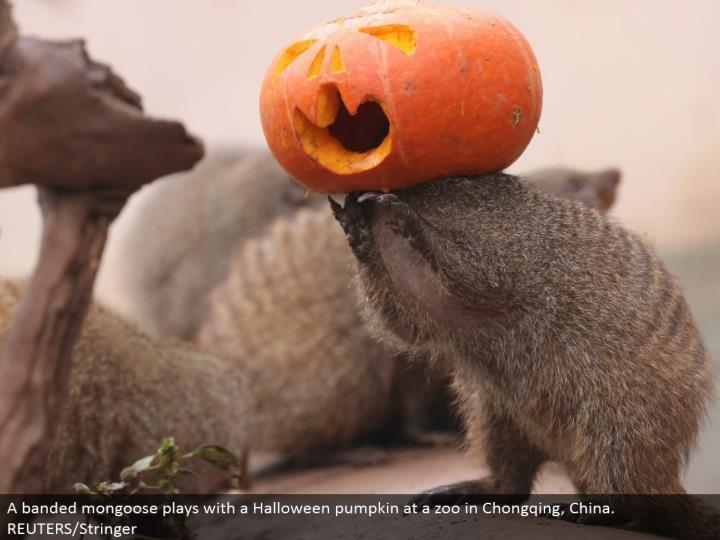 A joined mongoose plays with a Halloween pumpkin at a zoo in Chongqing, China. REUTERS/Stringer