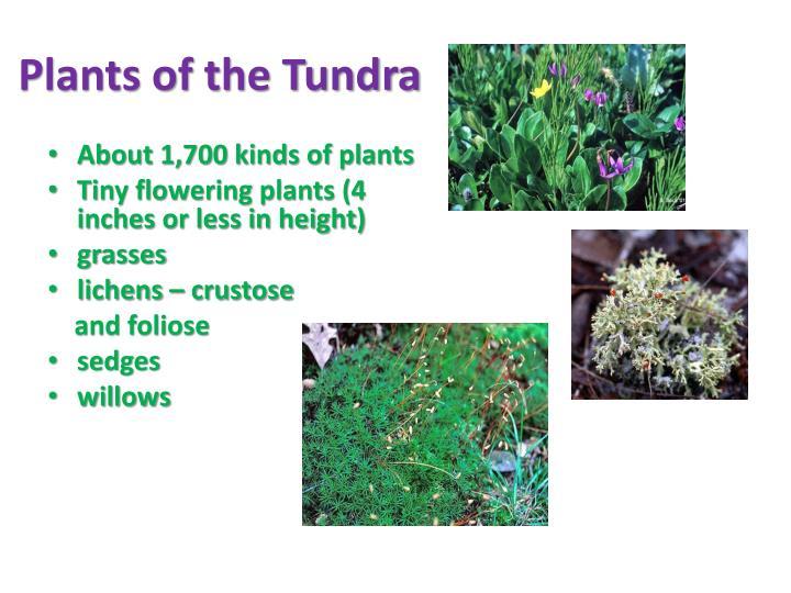 Plants of the Tundra