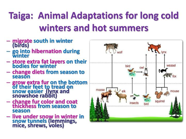 Taiga:  Animal Adaptations for long cold winters and hot summers