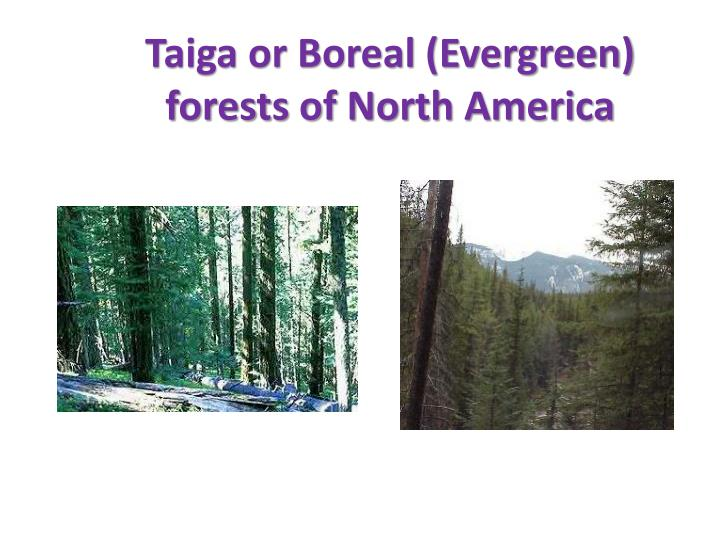 Taiga or Boreal (Evergreen) forests of North America