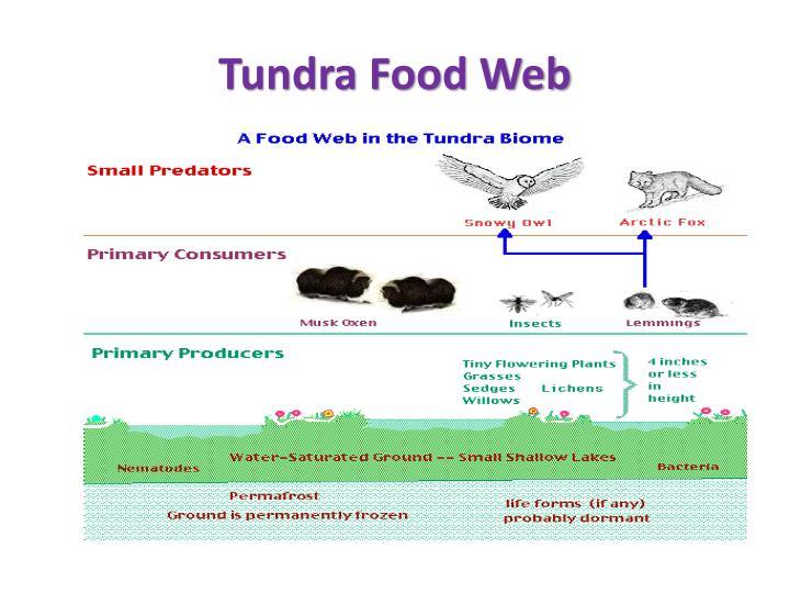 Tundra Food Web