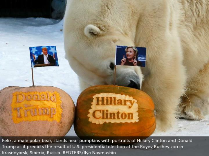 Felix, a male polar bear, remains close pumpkins with pictures of Hillary Clinton and Donald Trump a...
