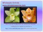 wholesale orchids www wholeblossoms com