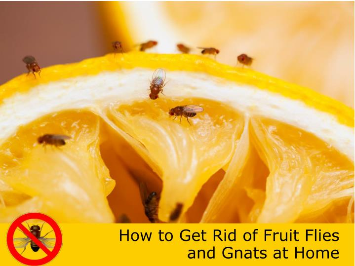 how to get rid of fruit flies and gnats at home n.