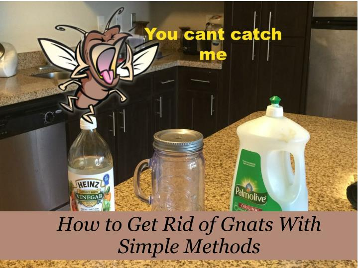 How to get rid of gnats with simple methods