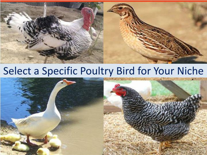 Select a Specific Poultry Bird for Your Niche